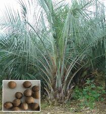 Kokospalme Jubaea chilensis grüne Zimmerpalme Büropflanze Palme für drinnen Deko