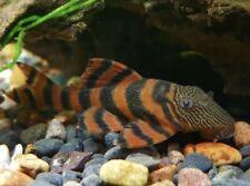 L397 Alenquer Tiger Pleco (Panaqolus sp.) - Tank-Bred Live Tropical Fish