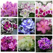 50 African violet Seeds 10 Kinds Home Garden Beautiful Bright Perennial Plants