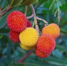 MADROÑO frutos deliciosos ARBUTUS UNEDO 105 Semillas