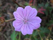 Pack of 12 'Glenluce' Geranium sanguineum Hardy Cranesbill Seeds