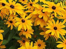 1500 + Black Eyed Susan Rudbeckia Hirta Flower Seeds Perennial Garden