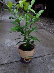 1 Kaffir Lime,Citrus Hystrix,each pot plant is approx 35 cm tall Inc pot