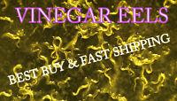VINEGAR EELS LIVE FISH FRY FOOD FEED STARTER CULTURE (Turbatrix aceti)