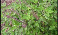 350++New Holy Basil (Tulsi) Seeds Ocimum sanctum Organically Grown Plants Seeds