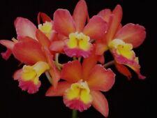 BIN-(Blc. Waianae Leopard x Ctna. Why Not) 'Orange Paradise' Cluster Bloomer!