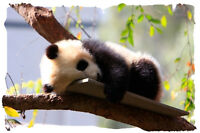 Panda Bear # 11 - 8 x 10 - T Shirt Iron On Transfer