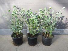 Eucalyptus gunnii - Mostgummi-Eukalyptus - Pflanze 25-40cm - Frosthart