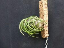 Tillandsia pruinosa, aufgebunden, tlw. mit Ableger oder Knospe