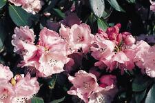 Rhododendron anthosphaerum 50 seeds