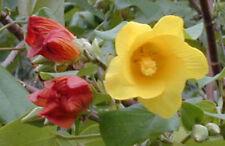 Hibiscus tiliaceus | Hau | Sea Hibiscus | Vau Tree | Green Cottonwood | 20_Seeds
