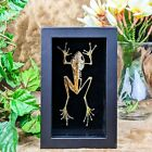 Y90A (PB) Taxidermy Oddities curiosities half-skeleton White-lipped Frog disply