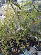 Dwarf Pomegranate 3 To 4 Feet Tall Live Plant Fruit Full Grown