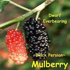 ~MULBERRY~ DWARF BLACK PERSIAN Morus nigra Edible FRUIT TREE LIVE Pot'd Sm Plant
