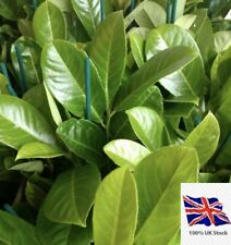 20x  cherry laurel hedging/tree seeds 20 seed/pods freshly harvested to order