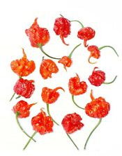 Extremely Hot Chili Pepper DRAGON'S BREATH 10 Seeds Vegetable - from 2019 -Rare