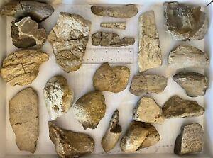 bulk dinosaur bones T-Rex Trike Triceratops Ankylosaur Tyrannosaurus Tooth Bones