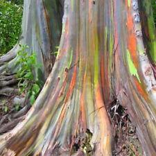 40Pcs Rainbow Eucalyptus Deglupta Mindanao Gum Seeds Yard Garden Tree Plant