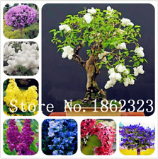 Bonsai Lilac Bonsai 100 Pcs Seeds Japanese Flowers Trees Outdoor Plants Garden X