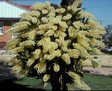 Dendrobium speciosum curvicaule super XXXXX  premium 100mm advanced orchid