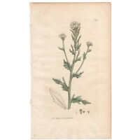 Sowerby antique 1st ed 1795 hand-colored engraving botanical 388 Whitlow Grass