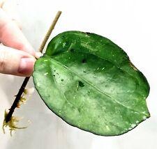 Hoya Joy Some Splash Large Leaf Not Variegated Monstera