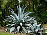 Century Plant/American Aloe (Agave americana)10 Seeds