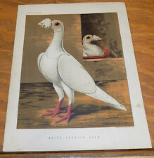 1876 Antique COLOR Pigeon Print///WHITE CARRIER COCK