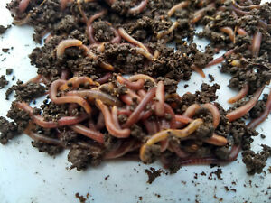 Red Wiggler Compost Worms - 1/2 Pound 500