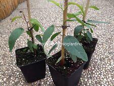 PLANT of Eucalyptus Lemon Fresh - THE MORE' EFFECTIVE plant ANTI MOSQUITOS