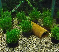 Brasilianische Graspflanze, Neuseelandgras, Unterwassergras, Aquariumpflanzen