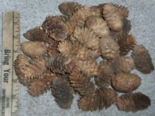 Real Spruce Pine Cones - lot of 50
