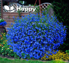TRAILING LOBELIA BLUE SAPPHIRE - 6 000 seeds - Lobelia Pendula BALCONY FLOWER