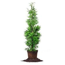 Thuja Green Giant, Live Plant, Size: 4-5 ft.