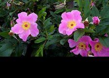 Rosas-Rosa Virginiana-Virginian Rose. 20 Semillas