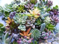 20 Assorted Rosette Succulent Cuttings Assorted Rosette Varieties
