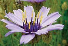 "6 CATANANCHE CAERULEA 'CUPID'S DART' MEDIUM PLUG PLANTS - HP - 30"""