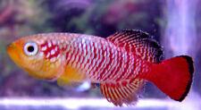 50 N.guentheri Red ZAN2014/2  Killifish (killiefish) eggs