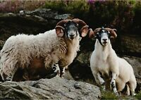 A1 | Scottish Blackface Sheep Poster Art Print 60 x 90cm 180gsm Lamb Gift #12676