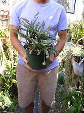 Ledebouria socialis 'Violacea Succulent Clump