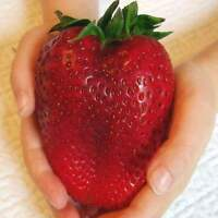 100 Huge Strawberry Seeds Jumbo Size Juicy Sweet Rare Large Heirloom Super Giant