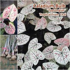 Caladium Bulb Queen of the Leafy Plant ''Tepsongsin'' Colourful Tropical Thai