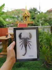 Real Scorpion Taxidermy Bug Beetle Centipede Cicada Exotic Insect Display Gift