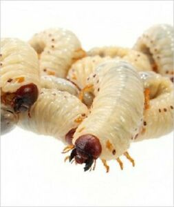 Fruit Beetle Grubs Pachnoda Reptile Live Food Pre pack Approx 10