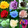 Mixed Kind 200pcs Rare Multi-Colors Rose Peony Flower Seeds Home Garden