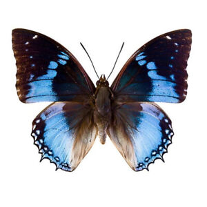 Real Entomology Butterfly Specimen 52 Types Learn Collect Display Specimens