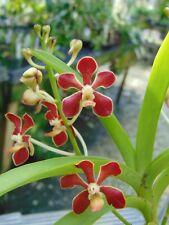 Vanda mariae Flowers 4 inch basket Fragrant Species 4 Plants