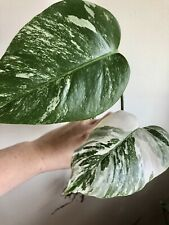 Variegated Albo Monstera Borsigiana Cutting FULLY Rooted