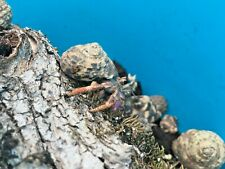 Land Hermit Crabs Group of 3 Free Shipping