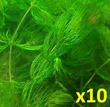 10 Freshwater Hornworts/Ceratophyllum Demersum/Coontail Aquarium Plants.